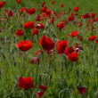 Poppies blowing in the wind — Stock Video