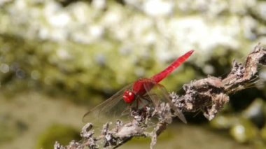 Dragonflies — Stock Video