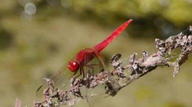 Dragonflies — Stock Video