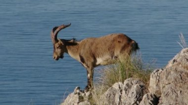 Iberian ibex — Stock Video