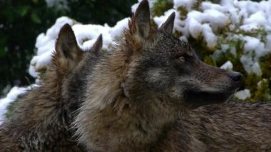 Iberian wolves — Stock Video
