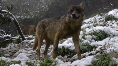 Iberian wolves — Stock Video