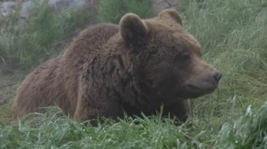 Grizzlybjörnar — Stockvideo