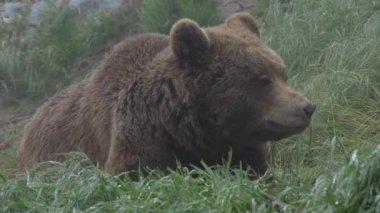 Medvěd grizzly — Stock video