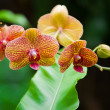 Orchids — Stock Photo #41822701