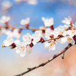 ������, ������: Cherry tree flower
