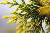 Cypress bough — Stock Photo