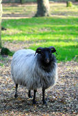 Sheep standing in the forest — Stok fotoğraf