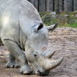 Big grey rhino — Stock Photo #39913029