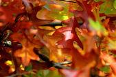 Canadian oak leaves — Stock Photo