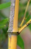 Ramo di bambù da vicino — Foto Stock