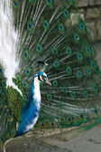 Colorful peacock standing with nice open tail — Stock Photo
