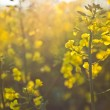 Stock Photo: Oilseed rape