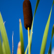 Reed — Stock Photo #39574621