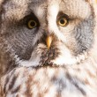 Tawny owl — Stock Photo #39575649