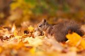 Brown squirrel with nut — Stock Photo
