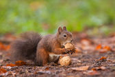 Brown squirrel with nuts — Stock Photo