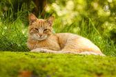 Gember kat — Stockfoto