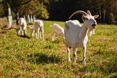 Greedy goats — Stock Photo