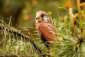 Hawk — Stok fotoğraf