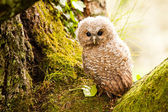 Tawny Owl — Stock Photo