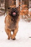 Leonberger Ajax — Stock Photo