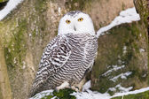 Snowy Owl — Stock Photo