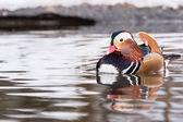 Pato mandarín en agua — Foto de Stock
