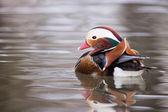 Mandarynkowa kaczka na wodzie — Zdjęcie stockowe