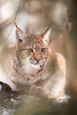Lynx behind the tree — Стоковое фото