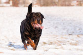 Rottweiler in snow — Stock Photo