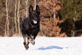 Black German shepherd in winter — Foto de Stock