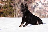 Czarny owczarek niemiecki w zimie — Zdjęcie stockowe