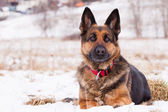 German Shepherd in winter — Stock Photo