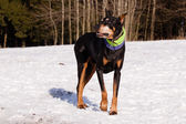 Doberman in winter — Stock Photo