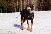 Doberman in inverno — Foto Stock