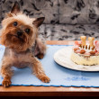 Stock Photo: Yorkshire terrier birthdays