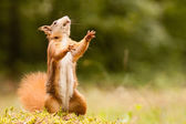 Standing ginger squirrel — Stock Photo