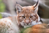 Lynx behind the branches — ストック写真