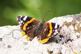 岩石上的蝴蝶 — 图库照片