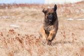 Running Leonberger — Foto de Stock