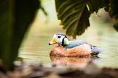 African Pygmy Goose (Nettapus auritus) — Stock Photo