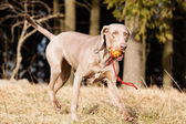 Hungarian hound dog — Stock Photo