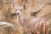 Lesser kudu — Stock Photo