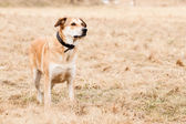 Mutt of Labrador and German Shepherd — Stock Photo