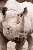 Rhinoceros-porträt — Stockfoto