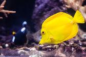 Sarı balık — Stok fotoğraf