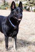 Black German shepherd — Stock Photo