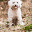 White Puli — Stock Photo