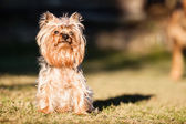 Cachorro yorkshire terrier — Foto Stock